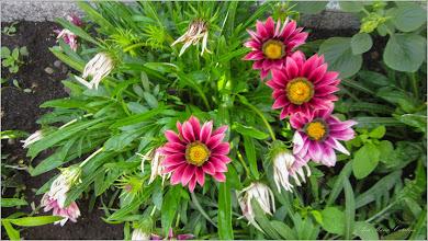 Photo: Floarea comoară, Gazania-margaretă (Gazania spp) - din curtea unei case din Gherla - 2019.08.02