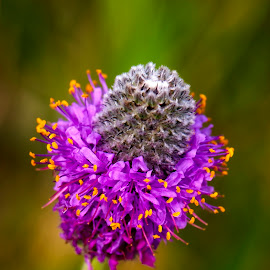 Purple Prairie Clover by Mike Woodard - Flowers Flowers in the Wild ( purple, sherburne wildlife refuge, purple prairie clover, purple flower )