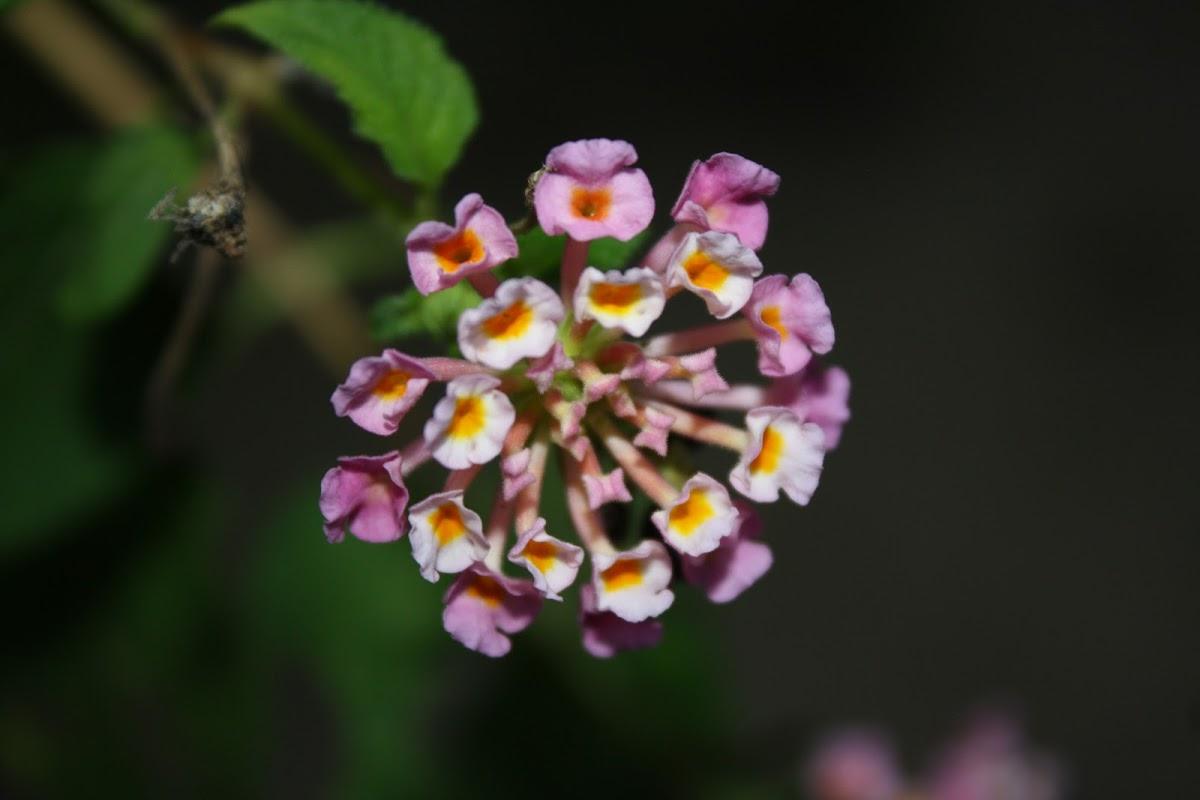 Common Lantana