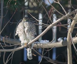 Photo: Sharp Shinned Hawk at backyard feeder
