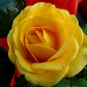 Valentine's Rose by Gautam Tarafder - Flowers Single Flower (  )