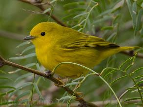 Photo: Yellow Wabler