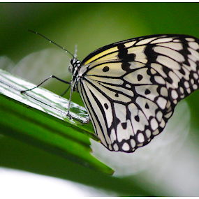 Butterfly by Arunkumar Boyidapu - Animals Insects & Spiders ( butterfly, macro, beautiful, insects, bokeh )