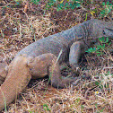 Bengal Monitor Lizard, Sri Lankan Land Monitor lizard, common Indian monitor
