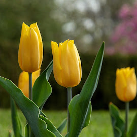 Tulips by Margie Troyer - Flowers Flower Gardens