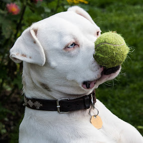 Please play with me by Mike Hayter - Animals - Dogs Playing ( playing, white dog, blue eyes, tennis ball )