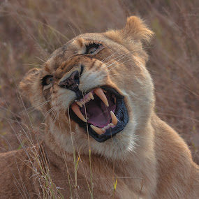 Move on! by Pax Bell - Animals Lions, Tigers & Big Cats ( lion, growling lioness, lioness )