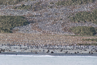 Photo: 2nd biggest King Penguin colony