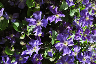 Photo: Clematis 'Perle d'Azur' 2