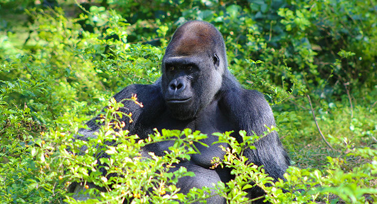Gorilla at Disneys Animal Kingdom