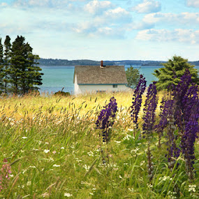 Lupines in Maine by April Brown - Landscapes Prairies, Meadows & Fields ( field, wildflowers, lupines, maine, cottage, ocean, flowers )