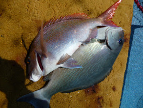 Photo: 真鯛とオナガのダブル!