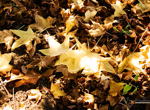 Photo: I loved these little golden leaves in the dappled light.