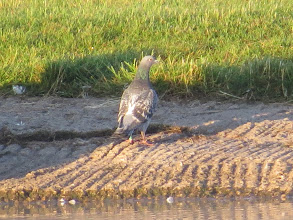 Photo: 15 Jul 13 Priorslee Lake: Rather unusual: a lone Feral Pigeon came to drink and is now about to depart. On this rather over-blown shot you can see a green ring on its left leg, so almost certainly a 'lost' racing pigeon. (Ed Wilson)