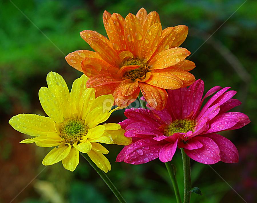 by Carmen Quesada - Flowers Flower Arangements ( orange, pink, yellow, mums, flowers, arrangements,  )