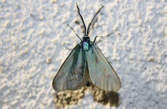 Photo: Jordanita sp.   Lepidoptera > Zygaenidae