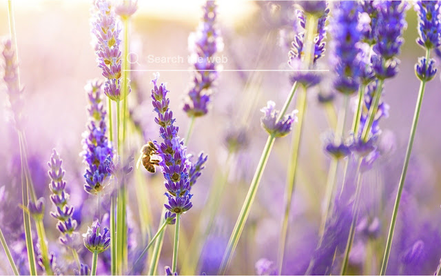 Lavender Hd Wallpapers Flower Theme