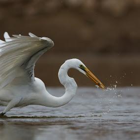 Fishing by Saumitra Shukla - Animals Birds ( bird, hunter, wild, fish, white, wildlife, fishing, travel, egret, animal )