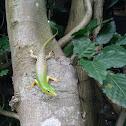 Emerald Tree Skink