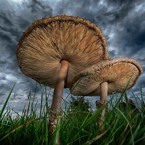 Parasol toadstools by Egon Zitter - Nature Up Close Mushrooms & Fungi ( grass, autumn, fall, parasol, toadstool, fungus )