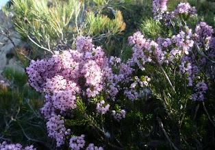 Photo: Les bouquets genéreux des bruyères en fleur.