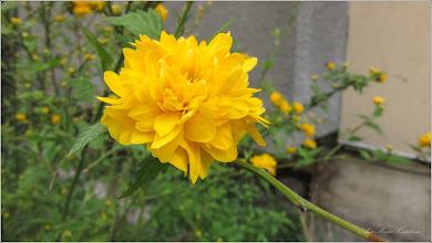 Photo: Trandafir Domnesc  (Kerria Japonica)   din Turda, Calea Victoriei, Nr. 17, 19 - 2019.04.09