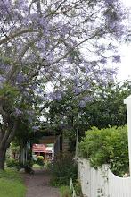 Photo: Year 2 Day 169 -  Jacaranda Tree