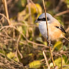 Butcher Bird or Long Tailed Shrike