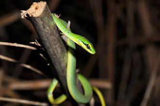 Photo: Hapsidophrys lineata