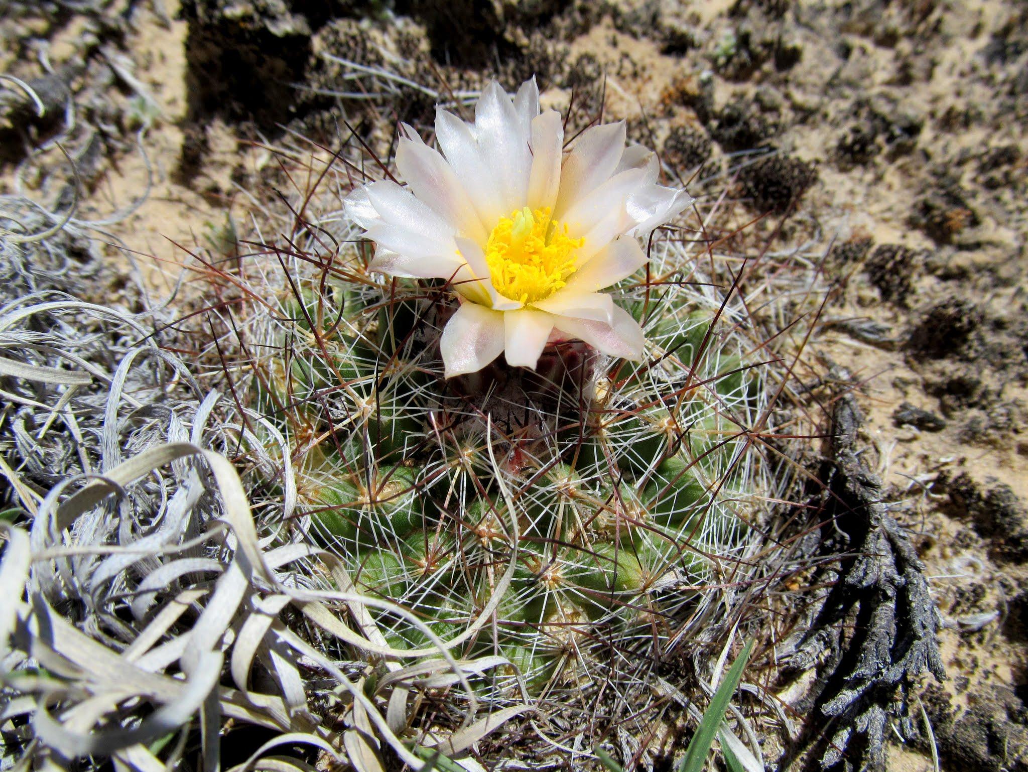 Photo: Cactus blooms