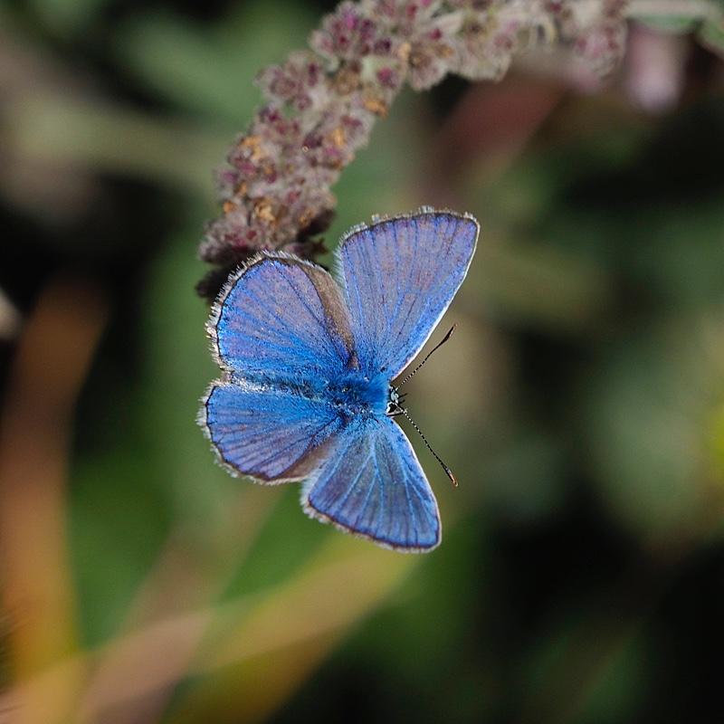 Mariposa ícaro (Common blue butterfly)