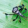 Leaf-footed bug (nymph)