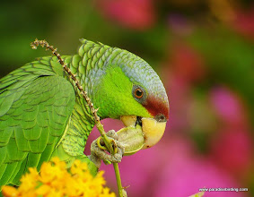 Photo: Jasmine, the Lilac-crowned Parrot; she is a free-flying rescue bird that lives on the property
