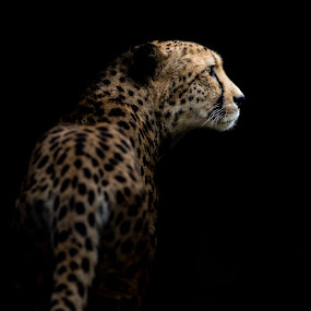 Cheetah by Andy Smith - Uncategorized All Uncategorized ( big cat, cheetah, cat, low key, dark, feline, black,  )