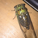 Robinson's Annual Cicada