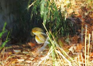 Photo: 撮影者:佐藤サヨ子 ルリビタキ♀タイプ タイトル: 観察年月日:2015年2月10日 羽数:1羽 場所: 区分:高幡台団地緑地 メッシュ:武蔵府中3H コメント:地面と斜面の上を行ったり来たりしていたが藪の中に入って行った。写真は2羽のように見えますが、飛び立つ瞬間で1羽です。