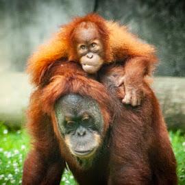 Memphis Zoo by Mary Phelps - Animals Other Mammals ( memphis, orangutan, baby, zoo,  )