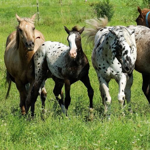 Wild Horses Videos (app)