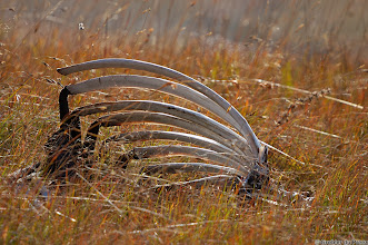 Photo: Rib cage at the Vulture Restaurant, Golden Gate Highlands National Park (South Africa).
