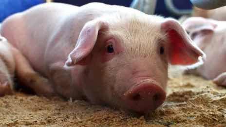 Aseguran debilidades cuarentenarias facilitaron introducción al país de la peste porcina africana.