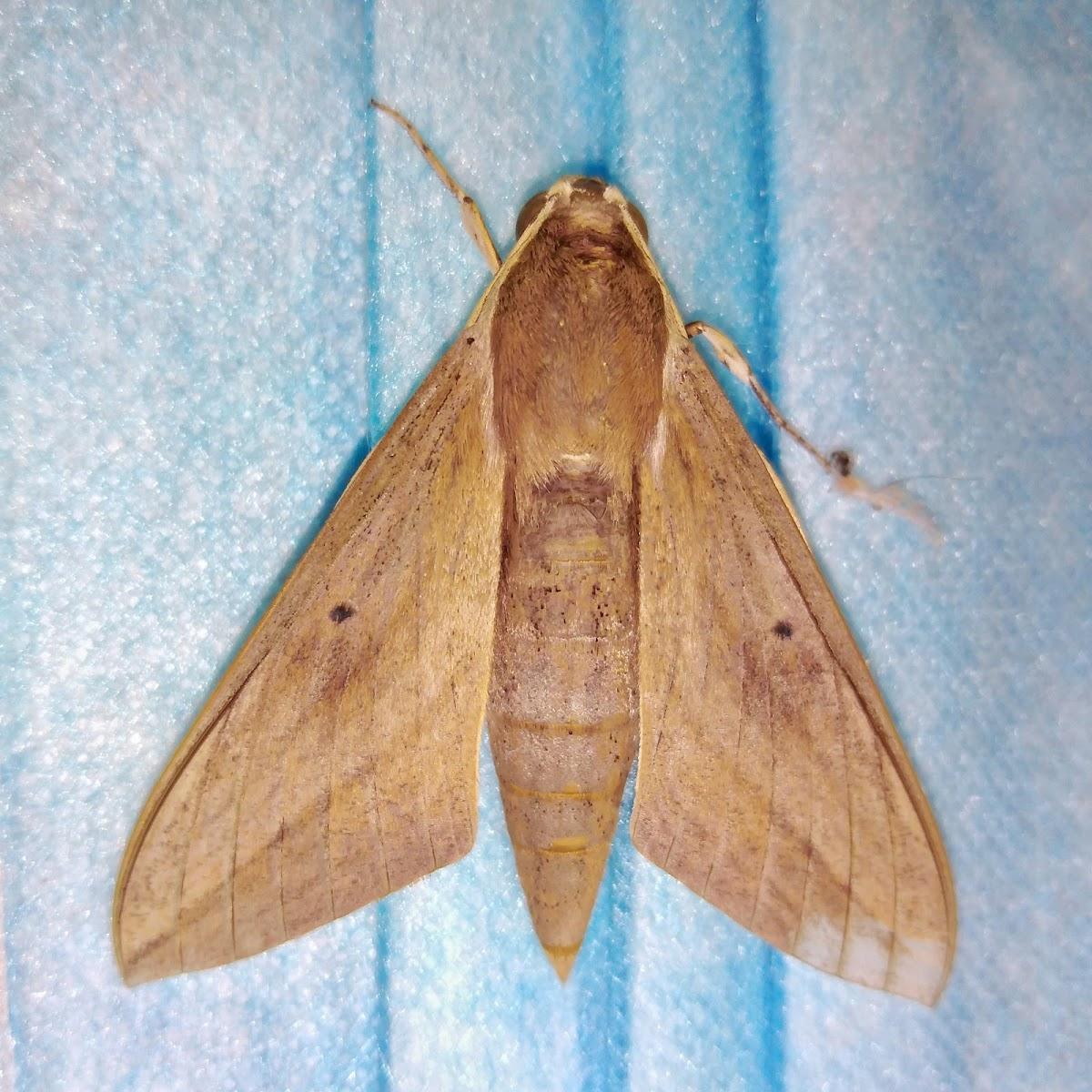 Pale brown hawk moth