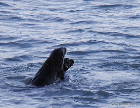 Photo: Two Sea Otters frolicking in Kachemak Bay