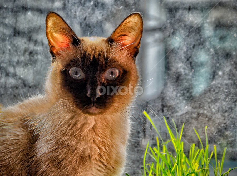 Should I eat this grass?! by Anton Donev - Animals - Cats Portraits ( garden grass, cat grass, purebred cat, cute, mug, gray eyes, staring, nature, no people, pets, fur, blue eyes, siamese cat, feline, black, animal, kitten, grass, elegance, beautiful, snout, beauty in nature, siamese, domestic animals, shorthair cat, close-up, mammal, big-eared, fluffy, blue, food, pussycat, eat, softness, domestic cat, Dogs, Cats, Pets, Rabbits, Animals, pet, livestock, cows, #GARYFONGPETS, #SHOWUSYOURPETS,  )