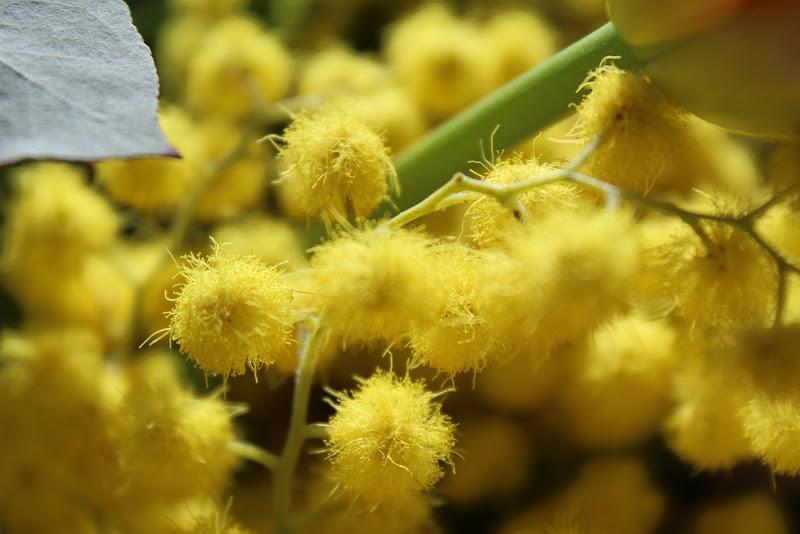 Mimosa di Gz