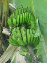 Photo: Bananas growing wild