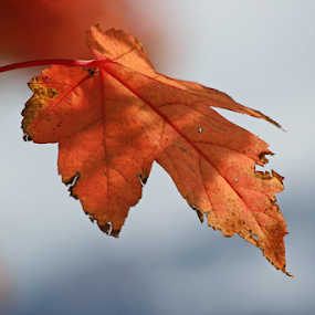 Single Fall Leaf by Tony Huffaker - Nature Up Close Leaves & Grasses ( single, fall, color, autumn, leaf )