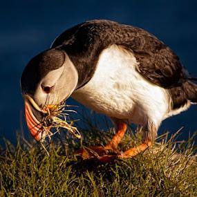 Arctic Puffin by Tim Vollmer - Animals Birds ( iceland sky, bird, gras, arctic puffin, puffin )
