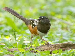 Photo: Spotted Towhee