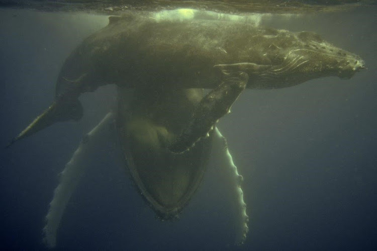 The humpback whale with her calf in her mouth.