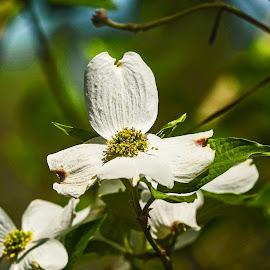 Dogwood 1 by Dee Haun - Flowers Single Flower ( flowers, 190320f7703e1, white, dogwood, single flower, tree flower,  )